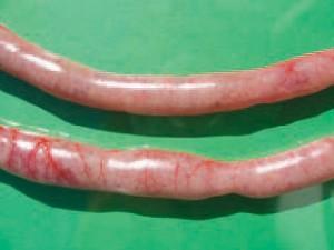 zapalenie jelit u brojlerów obniża FCR